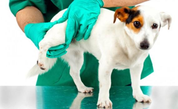 कुत्तों में हिप डिस्प्लेसिया के ज़रूरी तथ्य